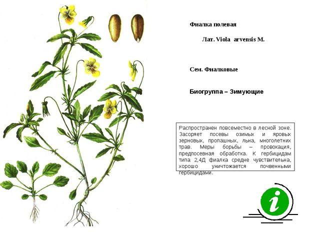Распространен повсеместно в лесной зоне. Засоряет посевы озимых и яровых зерн...