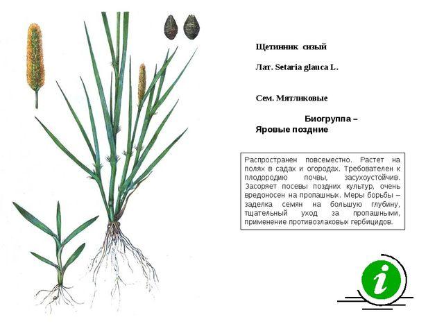 Распространен повсеместно. Растет на полях в садах и огородах. Требователен к...