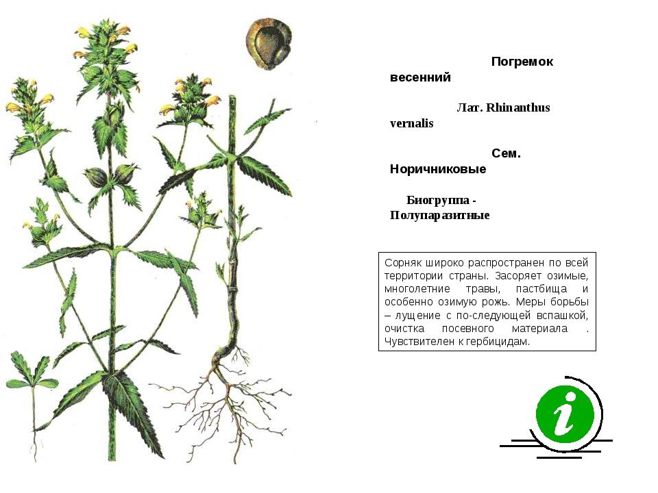 Сорняк широко распространен по всей территории страны. Засоряет озимые, много...