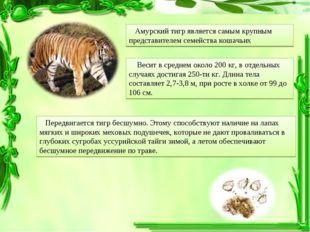 Амурский тигр является самым крупным представителем семейства кошачьих Весит