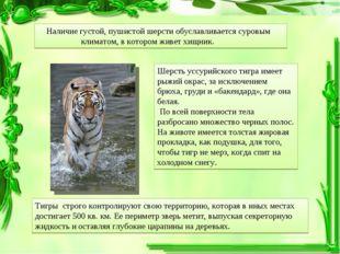 Шерсть уссурийского тигра имеет рыжий окрас, за исключением брюха, груди и «б