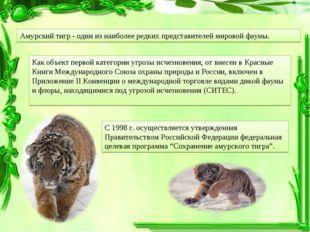 Амурский тигр - один из наиболее редких представителей мировой фауны. Как объ