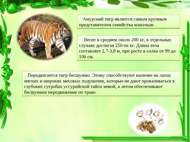 Амурский тигр является самым крупным представителем семейства кошачьих Весит...
