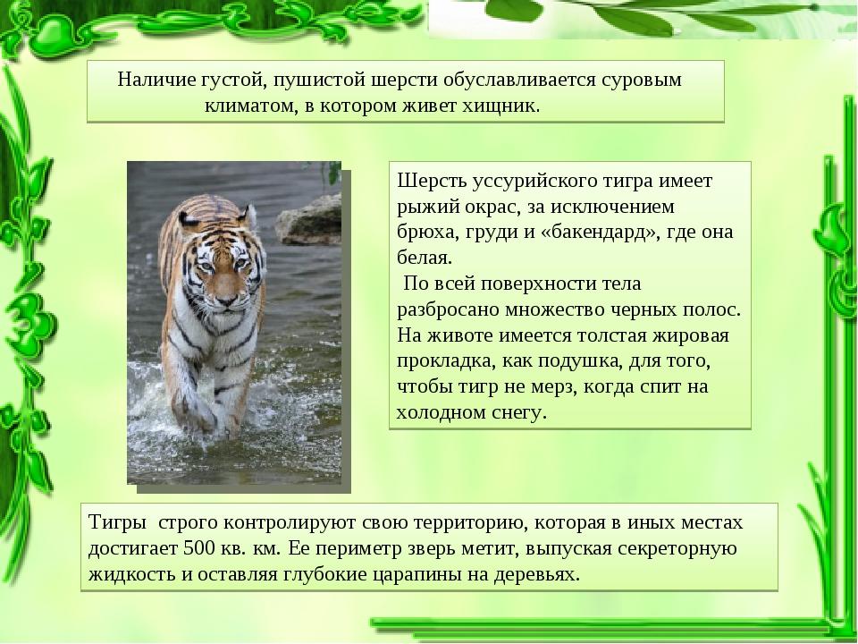 Шерсть уссурийского тигра имеет рыжий окрас, за исключением брюха, груди и «б...