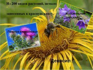 Из 200 видов растений, немало занесенных в красную книгу. Ламира ежеголовая Д