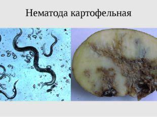Нематода картофельная