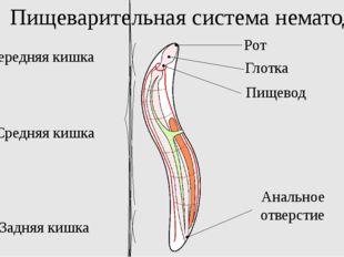 Пищеварительная система нематод Передняя кишка Средняя кишка Задняя кишка Ана