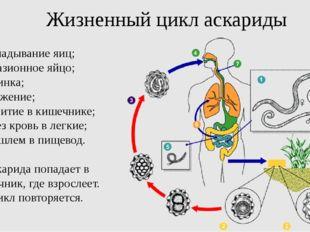 Жизненный цикл аскариды откладывание яиц; инвазионное яйцо; личинка; заражени