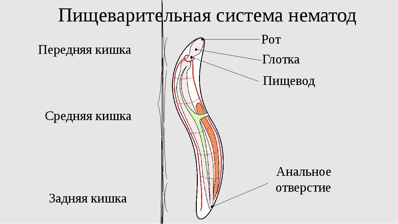 Пищеварительная система нематод Передняя кишка Средняя кишка Задняя кишка Ана...