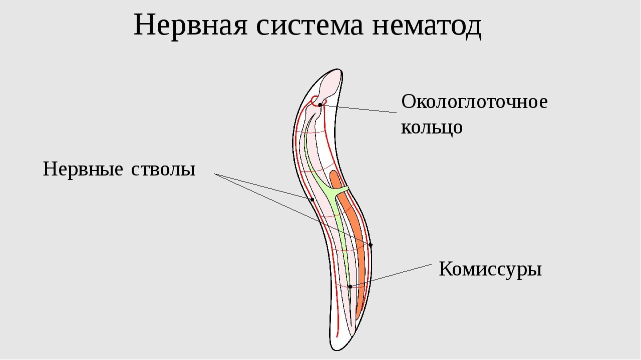 Нервная система нематод Нервные стволы Окологлоточное кольцо Комиссуры