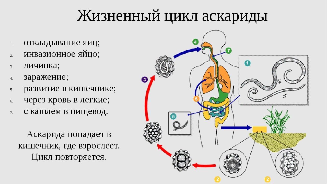 Жизненный цикл аскариды откладывание яиц; инвазионное яйцо; личинка; заражени...