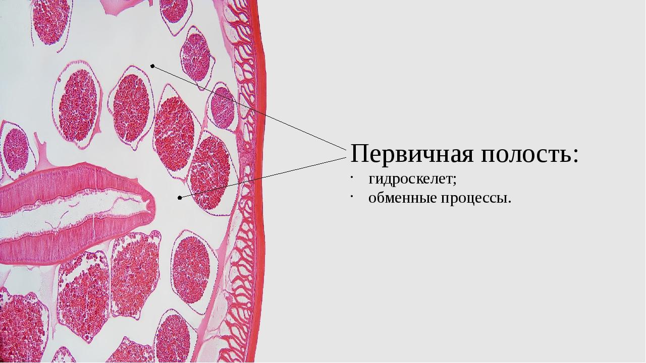 Первичная полость: гидроскелет; обменные процессы.