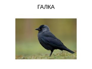 ГАЛКА