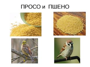ПРОСО и ПШЕНО