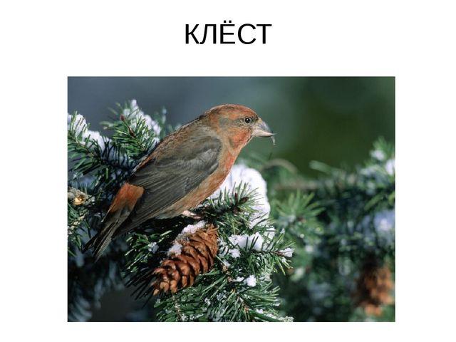 КЛЁСТ