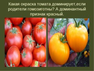Какая окраска томата доминирует,если родители гомозиготны? А доминантный приз