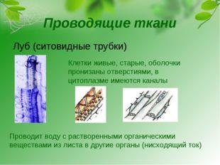 Проводящие ткани Луб (ситовидные трубки) Клетки живые, старые, оболочки прони