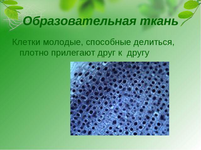 Образовательная ткань Клетки молодые, способные делиться, плотно прилегают др...