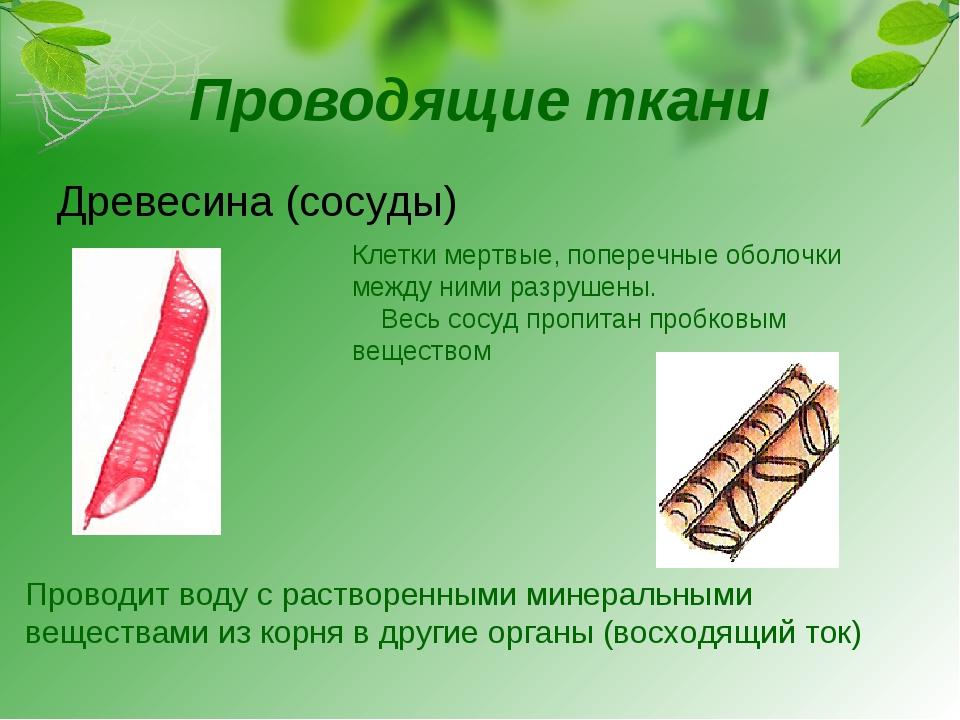Проводящие ткани Древесина (сосуды) Клетки мертвые, поперечные оболочки между...