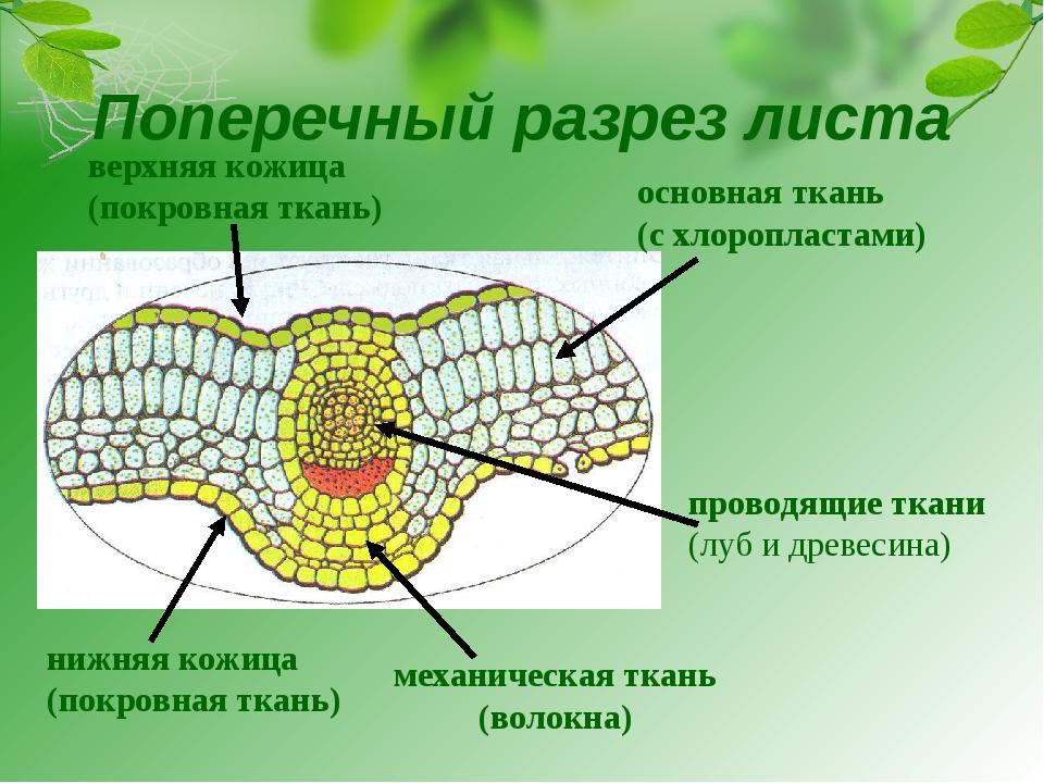 нижняя кожица (покровная ткань) верхняя кожица (покровная ткань) основная тка...