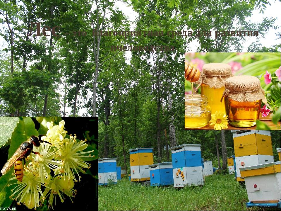 Лес – это благоприятная среда для развития пчеловодства