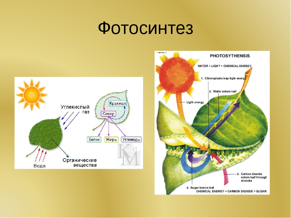 Сына летием, картинки на тему фотосинтез