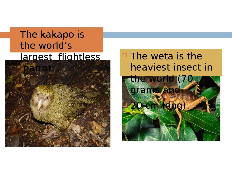 The kakapo is the world's largest flightless parrot. The weta is the heavies...
