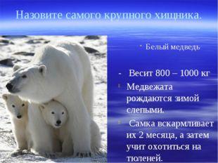 Белый медведь - Весит 800 – 1000 кг Медвежата рождаются зимой слепыми. Самка