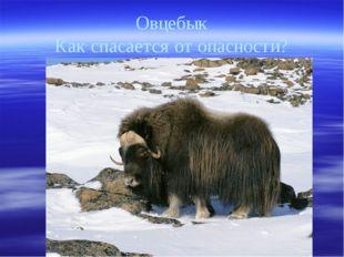 Овцебык Как спасается от опасности?