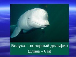 Белуха – полярный дельфин (длина – 6 м)