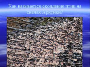 Как называется скопление птиц на скалах Арктики?