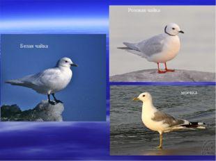 Розовая чайка Белая чайка моевка