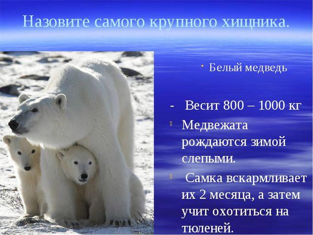 Белый медведь - Весит 800 – 1000 кг Медвежата рождаются зимой слепыми. Самка...