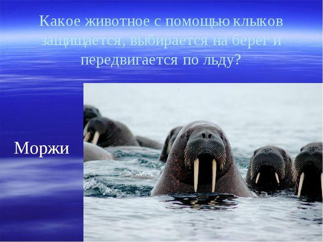 Какое животное с помощью клыков защищается, выбирается на берег и передвигает...