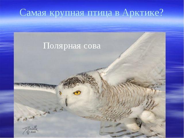 Самая крупная птица в Арктике? Полярная сова