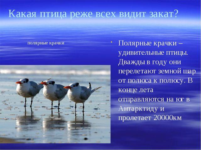 Полярные крачки – удивительные птицы. Дважды в году они перелетают земной шар...