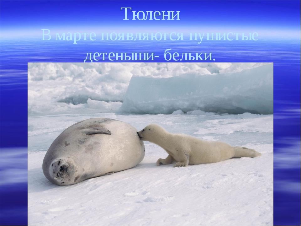 Тюлени В марте появляются пушистые детеныши- бельки.