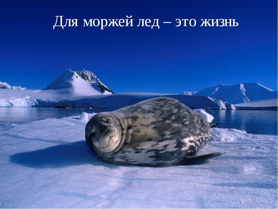 Для моржей лед – это жизнь