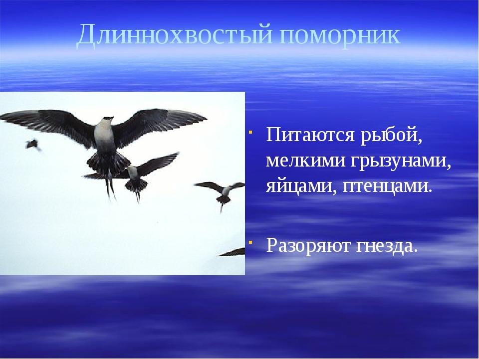 Длиннохвостый поморник Питаются рыбой, мелкими грызунами, яйцами, птенцами. Р...