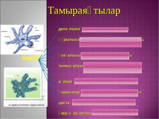 Тамыраяқтылар Амеба дене пішіні – тұрақсыз, 0,5 мм тұрқы құрылысы – ядро, цит