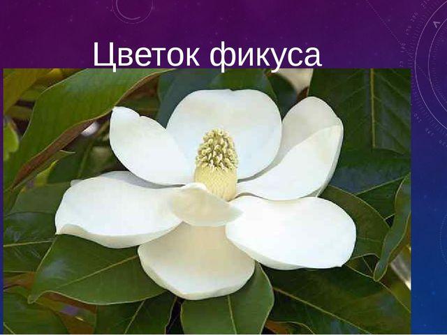 Цветок фикуса
