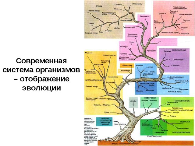Современная система организмов – отображение эволюции