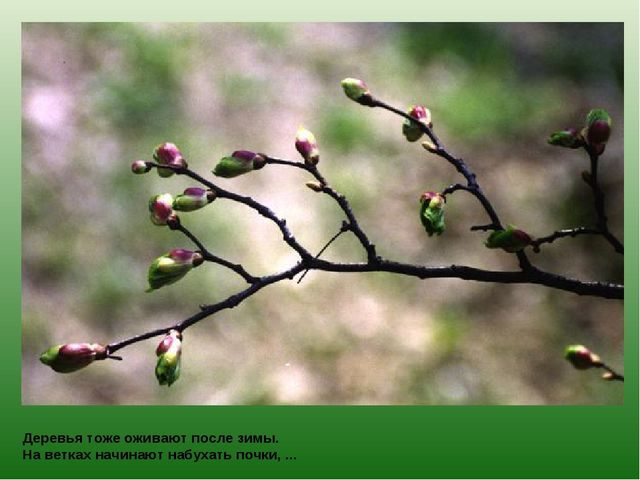 Деревья тоже оживают после зимы. На ветках начинают набухать почки, ...