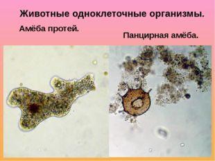 Амёба протей. Панцирная амёба. Животные одноклеточные организмы.