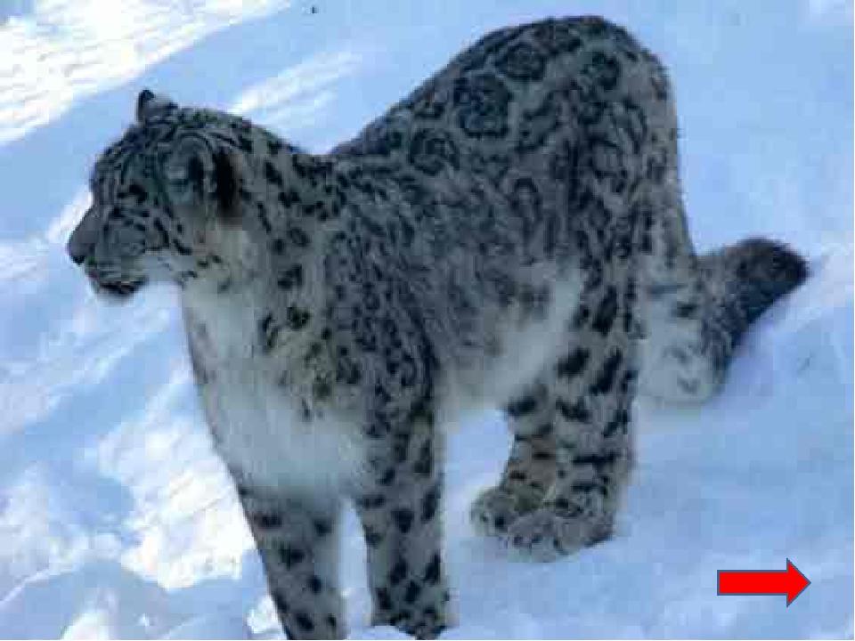 Персидская кошка Сибирская кошка Британская короткошерстная Ангорская кошка