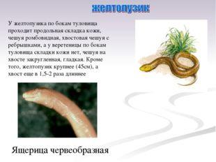 У желтопузика по бокам туловища проходит продольная складка кожи, чешуя ромбо