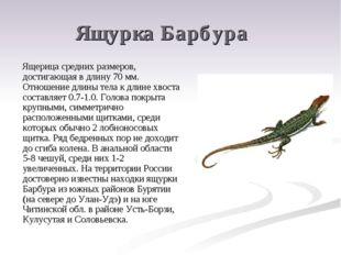 Ящурка Барбура Ящерица средних размеров, достигающая в длину 70 мм. Отношение