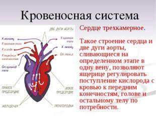 Сердце трехкамерное. Такое строение сердца и две дуги аорты, сливающиеся на о