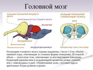 Полушария головного мозга хорошо выражены. Около 1/4 их объема занимает кора,