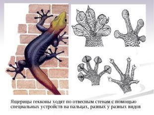 Ящерицы гекконы ходят поотвесным стенам спомощью специальных устройств на п